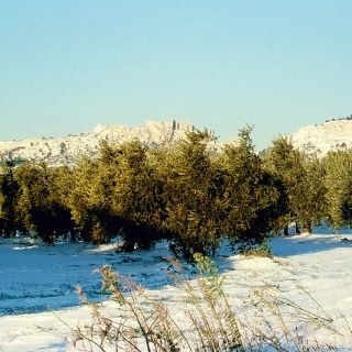 Olive trees under snow