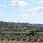 Baumettes olive grove